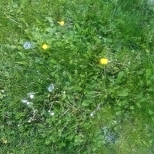 A lawn full of dandelions and other weeds.